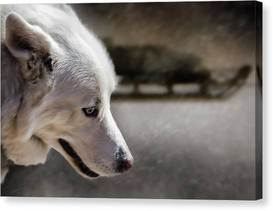 Huskies Canvas Print - Sled Dog by Bob Orsillo