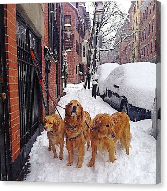 Golden Retrievers Canvas Print - Sled Dogs by Maddie Yardley