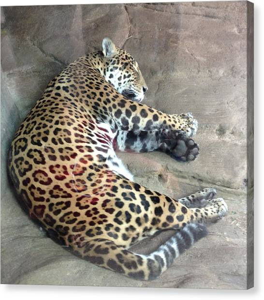 Sleep Time Jaguar Canvas Print by Gary Govett