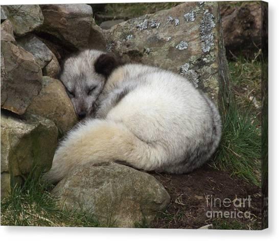 Sleeping Arctic Fox Canvas Print
