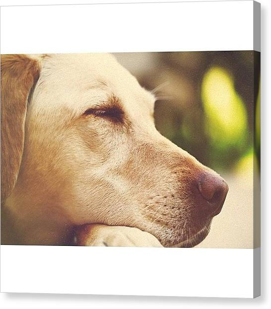 Yellow Lab Canvas Print - Sleeping Beauty by Alex Mortensen