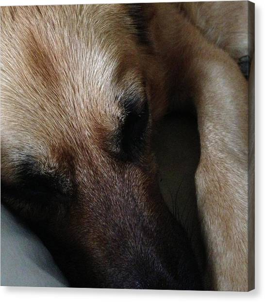 German Shepherds Canvas Print - Sleeping Beauty by Carol Whaley Addassi