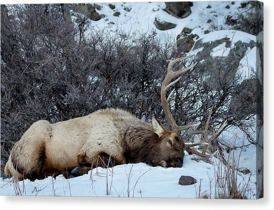 Sleeping Elk Canvas Print
