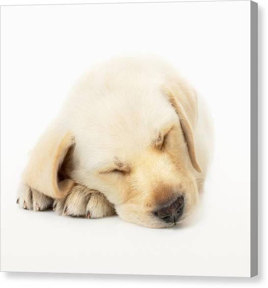 Paw Canvas Print - Sleeping Labrador Puppy by Johan Swanepoel