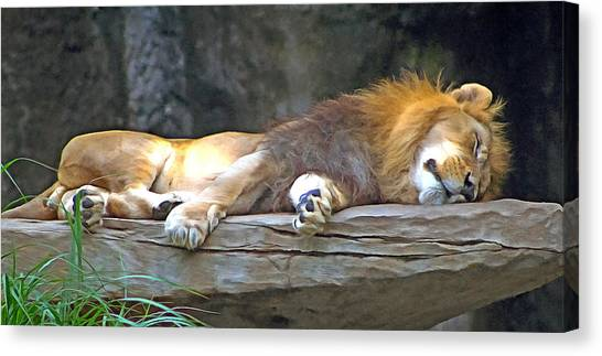 Sleeping Lion Canvas Print