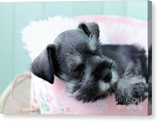 Sleeping Mini Schnauzer Canvas Print