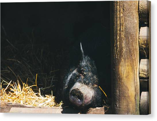 Pig Farms Canvas Print - Sleeping Potbelly Pig by Pati Photography