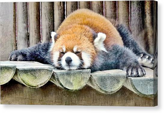 Sleeping Red Panda Bear Canvas Print