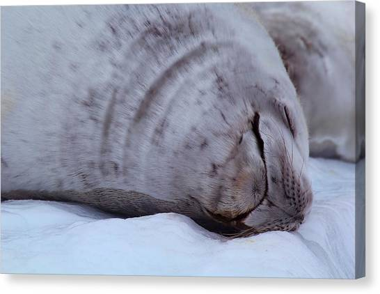 Antarctica Canvas Print - Sleeping Seal by FireFlux Studios
