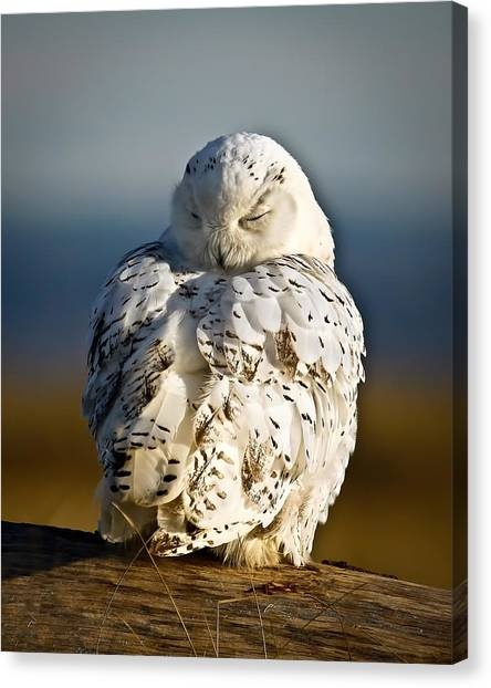 Canvas Print - Sleeping Snowy Owl by Steve McKinzie