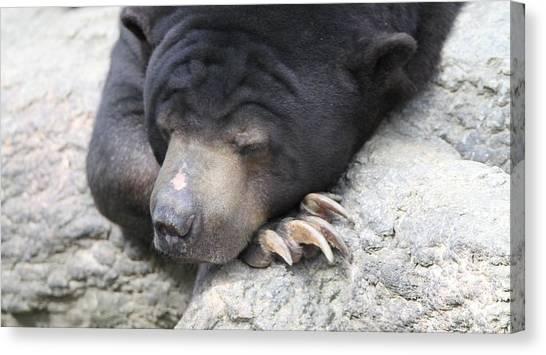 Bear Claws Canvas Print - Sleeping Sun Bear by Dan Sproul