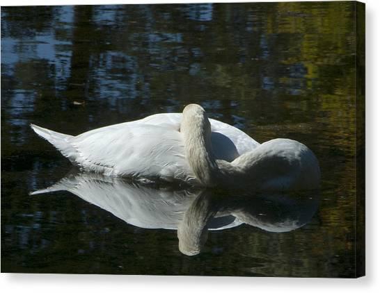 Sleeping Swan Canvas Print
