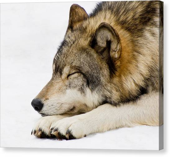 Sleeping Wolf Canvas Print