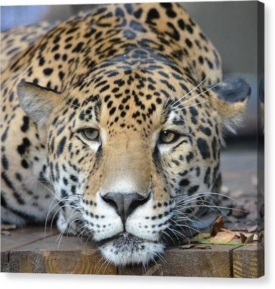 Sleepy Jaguar Canvas Print