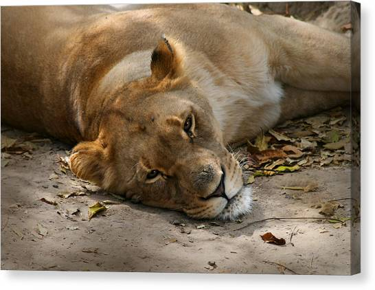 Sleepy Lioness Canvas Print