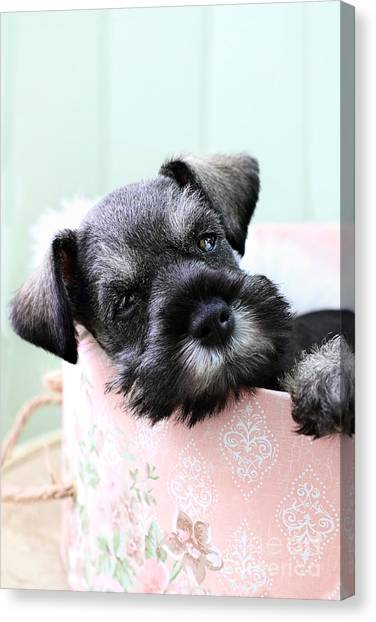 Sleepy Mini Schnauzer Canvas Print