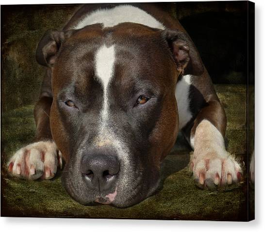 Pit Bull Canvas Print - Sleepy Pit Bull by Larry Marshall