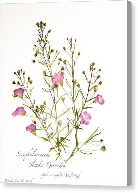 Slender Gerardia 3 Canvas Print