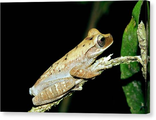 Amazon Rainforest Canvas Print - Slender-legged Tree Frog by Dr Morley Read/science Photo Library