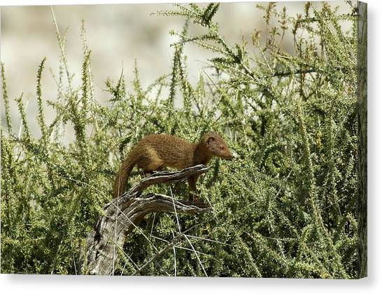 Slender Mongoose Canvas Print by Tony Camacho/science Photo Library