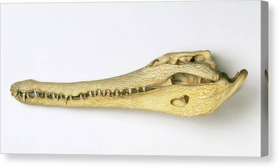Crocodiles Canvas Print - Slender-snouted Crocodile Skull by Natural History Museum, London/science Photo Library