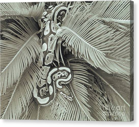 Ball Pythons Canvas Print - Slithering by Richard Brooks