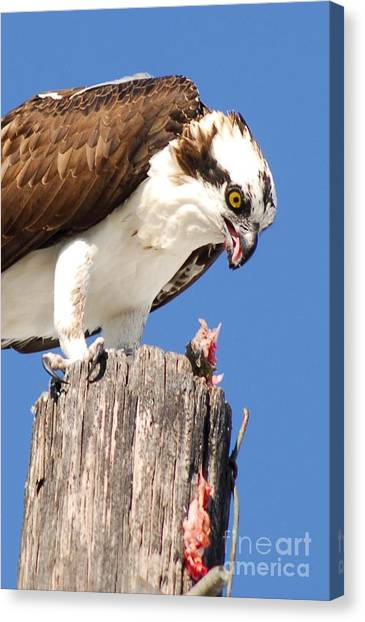 Osprey Canvas Print - Sloppy by Quinn Sedam