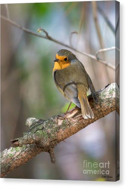 Small Bird Robin Canvas Print