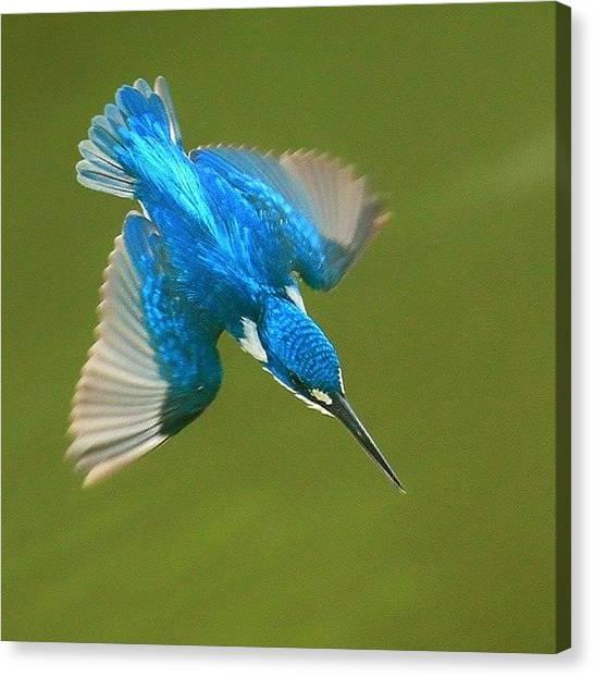 Kingfisher Canvas Print - Small-blue Kingfisher by Adi Sugiharto