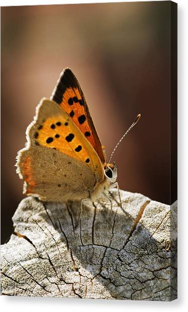 Small Copper Butterfly Canvas Print