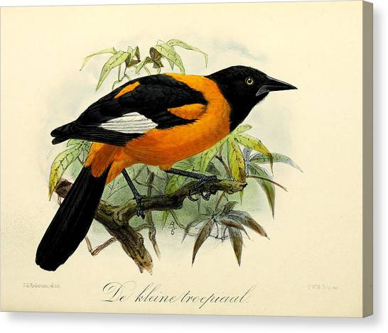 Orioles Canvas Print - Small Oriole by Dreyer Wildlife Print Collections