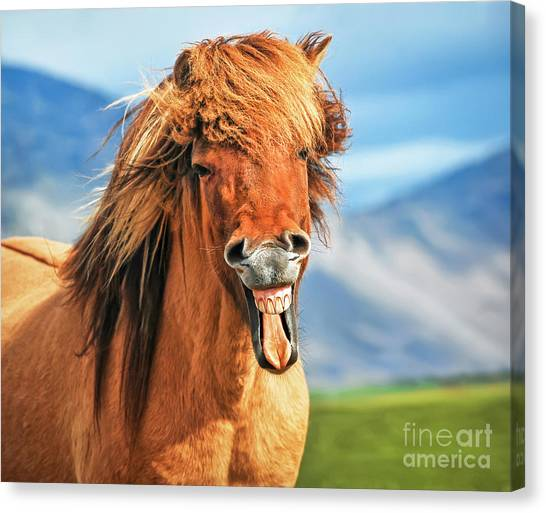 Funny Horses Canvas Print - Smiling Icelandic Horse by JR Photography