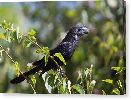 Smooth-billed Ani Canvas Print by Bob Gibbons