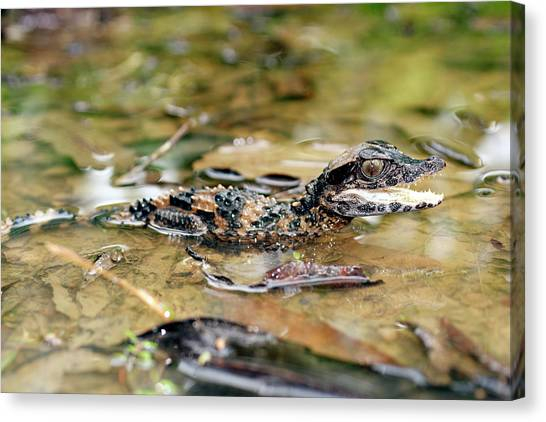 Amazon Rainforest Canvas Print - Smooth Fronted Caiman by Dr Morley Read/science Photo Library