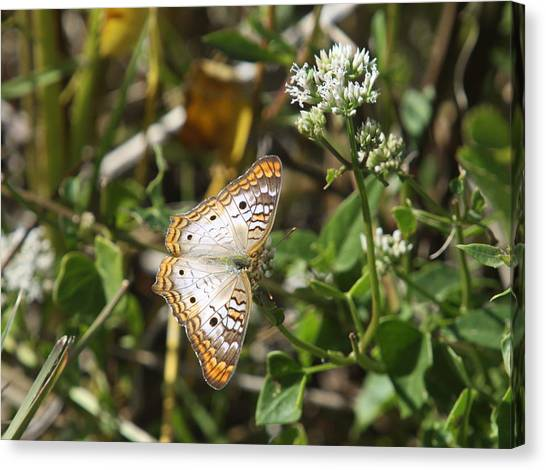 Anartia Jatrophae Canvas Print - Snack For A White Peacock Butterfly by Christiane Schulze Art And Photography
