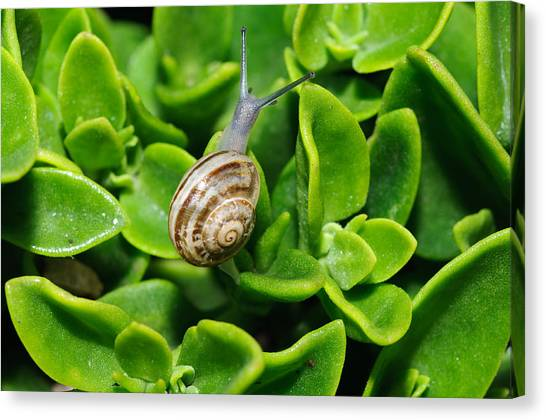 Snail Canvas Print by Ivelin Donchev