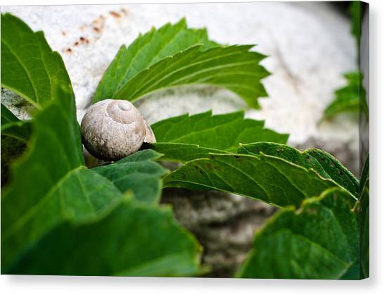 Snail Shell Canvas Print by Chase Taylor