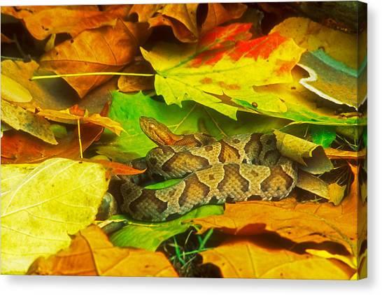 Venemous Snakes Canvas Print - Snake by David Davis