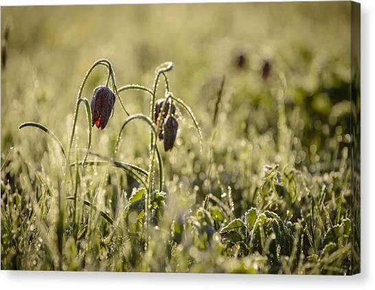 Andy Bloom Canvas Print - Snake Head's Fritillary In Gold by Andy-Kim Moeller