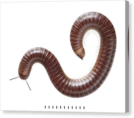 Millipedes Canvas Print - Snake Millipede by Natural History Museum, London