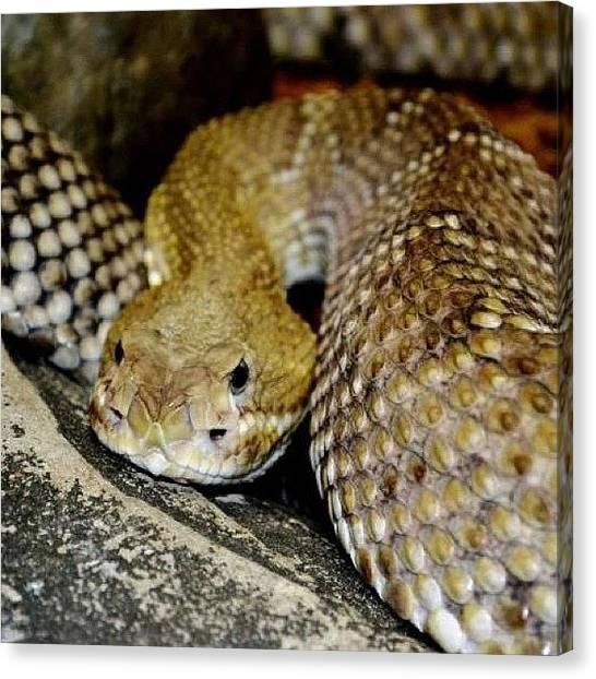 Rattlesnakes Canvas Print - #snake #rattler #rattlesnake #desert by Theresa Kidd