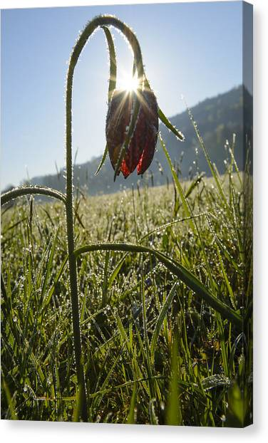 Andy Bloom Canvas Print - Snake's Head Fritillary by Andy-Kim Moeller