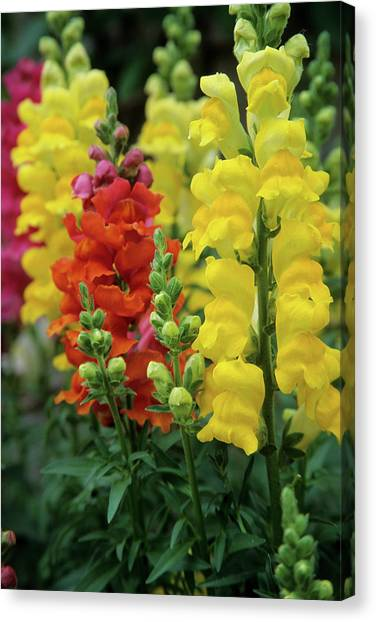 Snapdragons Canvas Print - Snapdragons (antirrhinum Majus by Richard and Susan Day