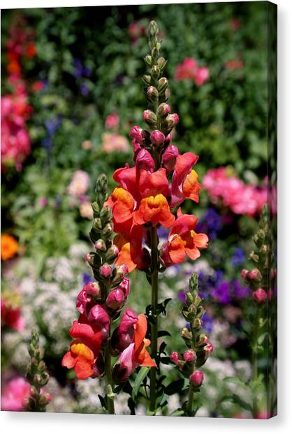 Snapdragons Canvas Print - Snapdragons by Rona Black