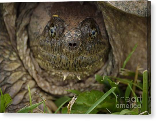 Snapping Turtles Canvas Print - Snapper by Randy Bodkins