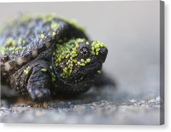 Snapping Turtle Canvas Print by Brian Magnier