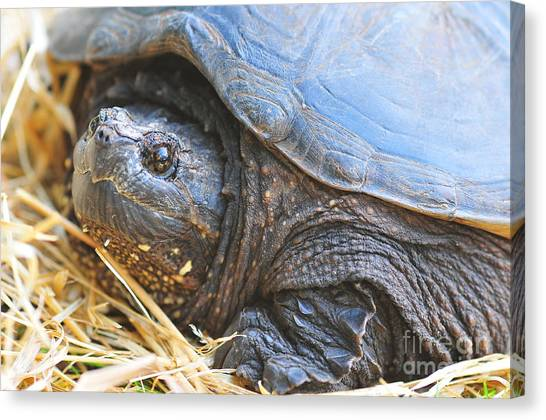 Snapping Turtles Canvas Print - Snapping Turtle by Catherine Reusch Daley