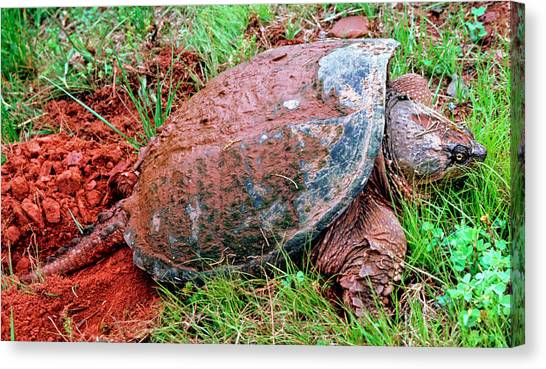 Snapping Turtles Canvas Print - Snapping Turtle Chelydra Serpentina by Millard H. Sharp