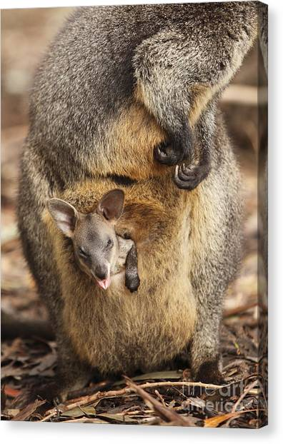 Sneezing Wallaby Canvas Print