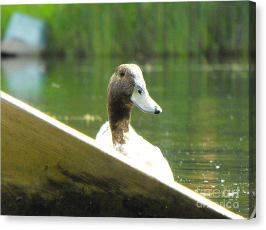 Snooping Duck Canvas Print